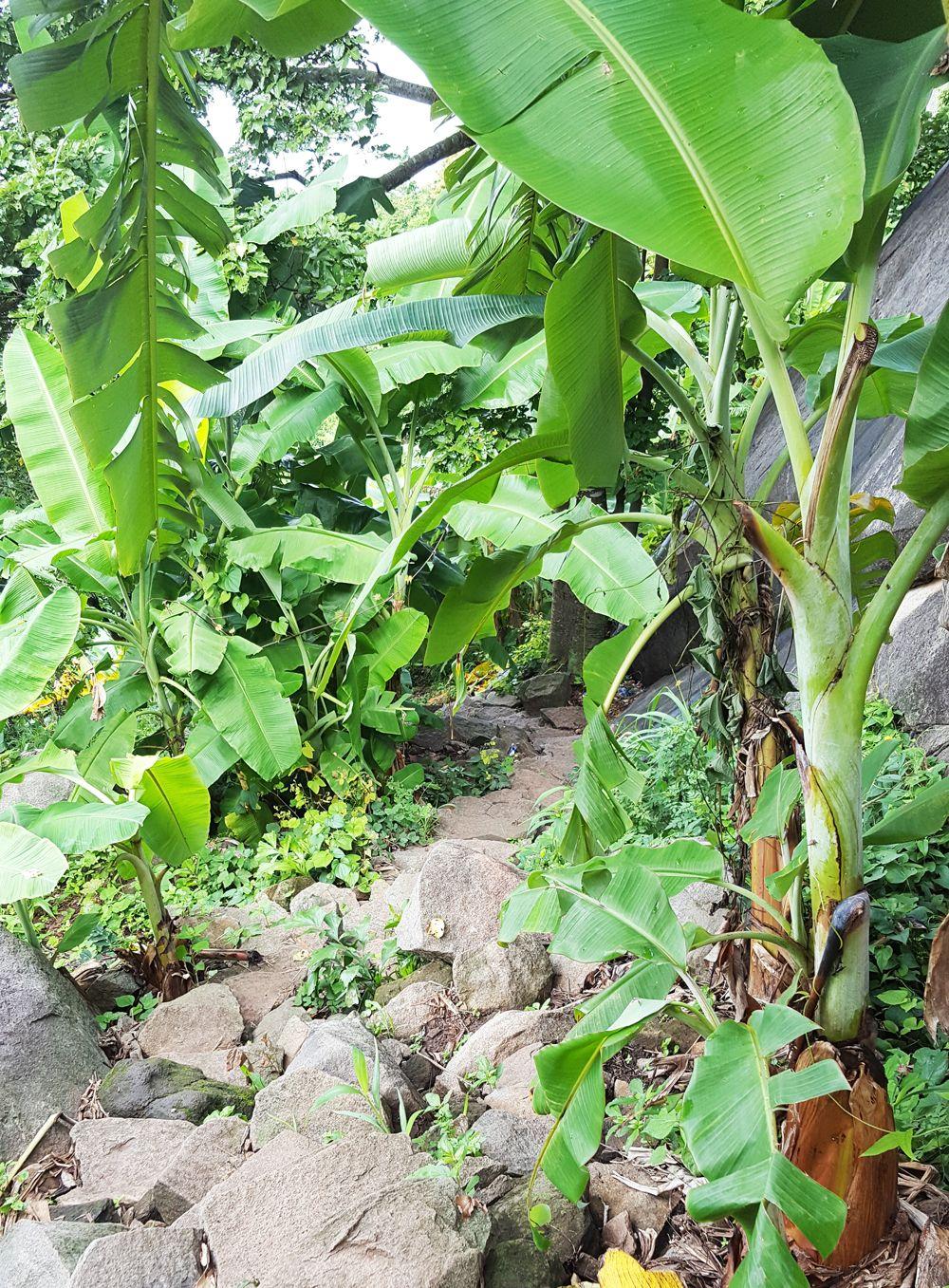 Vườn chuối người dân trồng 2 bên đường mòn lên núi Bà Đen