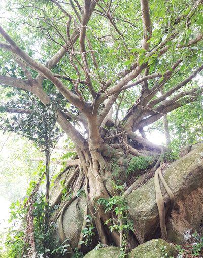 Chia sẻ kinh nghiệm leo núi Thị Vải - Cây đa lớn sau chùa